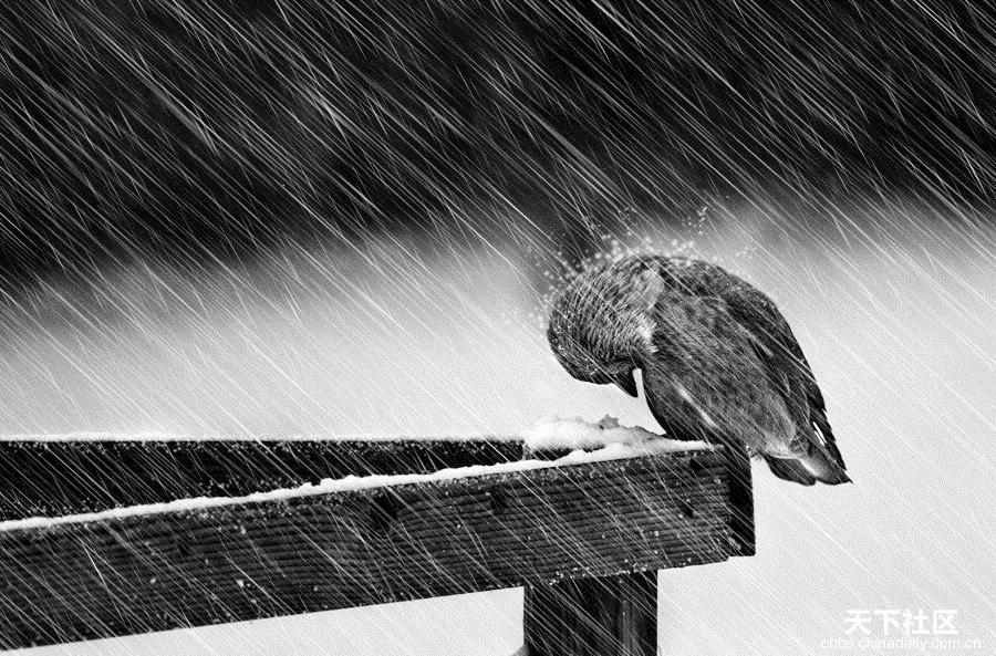 Chim bị mưa làm ướt