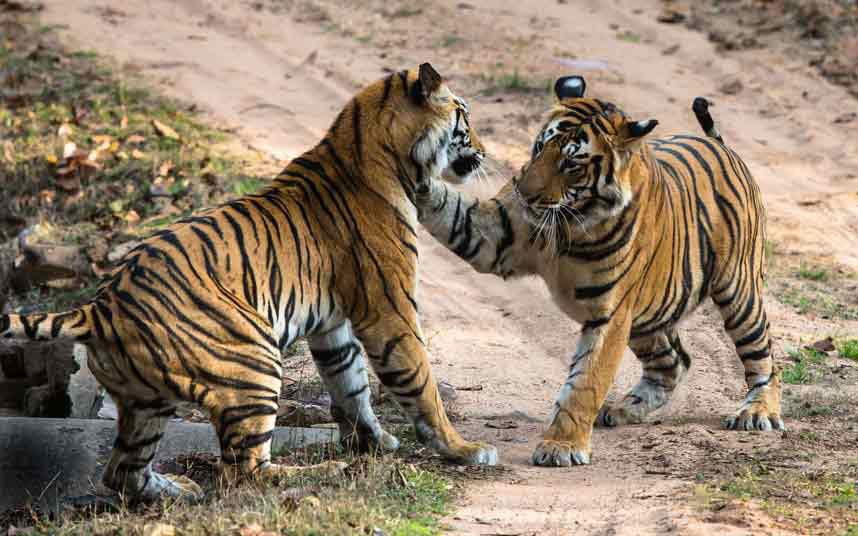 Hai con hổ hai số phận