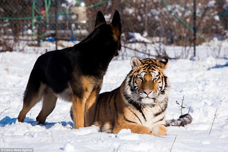 Hổ và chó điên